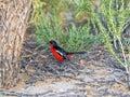 Crimson-breasted Shrike, Laniarius atrococcineus,  Kalahari, South Africa Royalty Free Stock Photo
