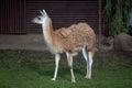 One cute Lama