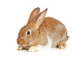 One cute rabbit sitting on white background Royalty Free Stock Photography