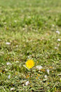 One dandelion in the green grass Royalty Free Stock Photo