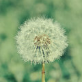 One dandelion Royalty Free Stock Photo