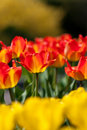 One Darwin Hybrid Tulips in Focus amongst others Royalty Free Stock Photos