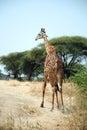 One day of Safari in Ruaha Park in Tanzania-Africa Royalty Free Stock Photo