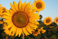 One dominant sunflower in the field of sunflowers early morning Royalty Free Stock Images