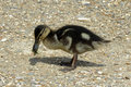 One duckling close up Royalty Free Stock Photo