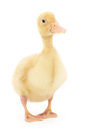 One duckling who are represented on a white background Royalty Free Stock Photo