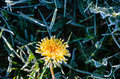 One Flower of a dandelion in the morning frost Royalty Free Stock Photo