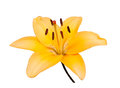 One flower of yellow lily, isolated Royalty Free Stock Photo