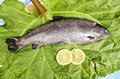 One fresh trout laid on a leaf served with two slices of lemon close up of rainbow Stock Images