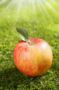 One freshly harvested red apple with a leaf lying on green grass under the hot rays of a late summer sun with shallow dof Stock Photography