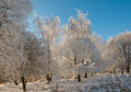 One frosted tree in sunlight Royalty Free Stock Image