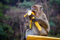 One funny monkey eats banana sits on the stone and Stock Photography