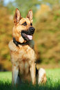 One German Shepherd Dog Royalty Free Stock Photo