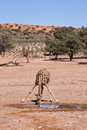 One giraffe drinking water in the desert dry landscape with blue sky Stock Images
