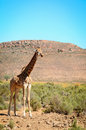 One giraffe wild african bush area Stock Images