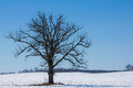 One gnarly old tree dominating winter landscape Royalty Free Stock Photos