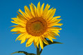 One golden sunflower Stock Photos