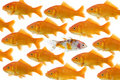 One goldfish being different Royalty Free Stock Photo