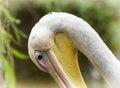 One Great White Pelican - Pele...