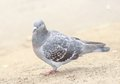 One grey pigeon on yellow sandy background Royalty Free Stock Photo