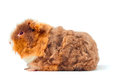 One guinea pig merino on white background Royalty Free Stock Images