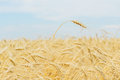 One high tall ripe full-grain cereal close-up on a hot summer afternoon against a yellow rye field, wheat and blue sky Royalty Free Stock Photo