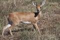 One-horned Steenbok Stock Photos