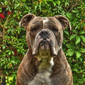One item on Bull Doggs head in HDR Royalty Free Stock Photo