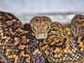Jamaican boa, Epicrates subflavus, is threatened with extinction Royalty Free Stock Photo