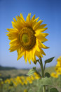 One large sunflower with field of flowers. Stock Image