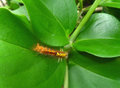 One little orange caterpillar climbing slowly on bright green leaf Royalty Free Stock Photo