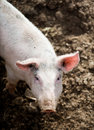 One little pig in a pigsty for breeding pigs Stock Photos