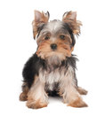 One lovely puppy of the yorkshire terrier Royalty Free Stock Photos