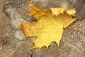 One Maple Tree Dry Leaf Royalty Free Stock Photo