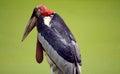 One Marabou stork bird portrait beautyful animal wallpaper Royalty Free Stock Photo
