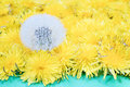 One mature dandelion next to yellow Royalty Free Stock Photo