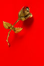 One Metal rose on a red background for holiday greetings Royalty Free Stock Photo