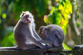 One monkey helps to get rid of fleas to another Royalty Free Stock Photography