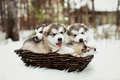 One month old malamute puppies dedicated alaskan outdoors Stock Images