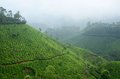 One of the most high altitude tea plantations in munnar india kerala state Royalty Free Stock Image