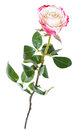 One natural pink rose flower isolated on white Royalty Free Stock Photo