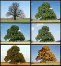 One Oak Tree In Four Seasons