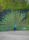 One Peacock with Plumage Display Royalty Free Stock Photo