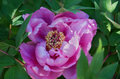 One peony flower, homeopathic medicinal plant Royalty Free Stock Photo