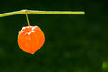 One physalis in the sun detail Royalty Free Stock Photos