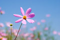 One pink cosmos Royalty Free Stock Photos
