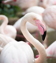 One pink flamingo closeup on blurred background Stock Photos