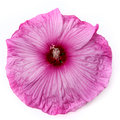 One pink hibiscus flower Royalty Free Stock Photo