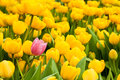 One pink tulip standing out from many yellow ones. Individuality concept Royalty Free Stock Photo