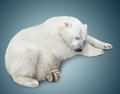 One polar bear cubs sleep over blue background Royalty Free Stock Photo